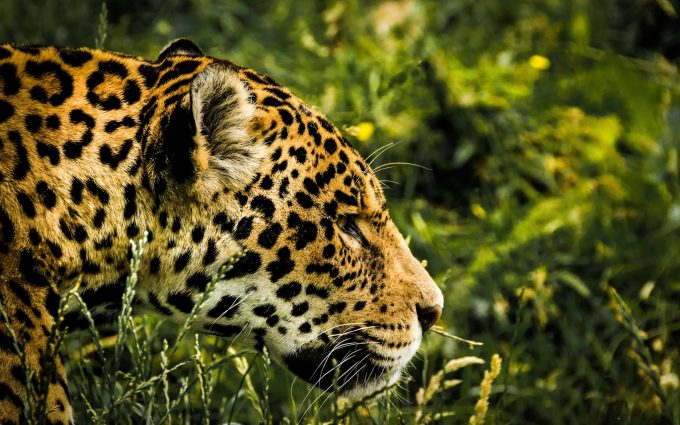 leopard close up 4k 5k wallpaper background, wallpapers