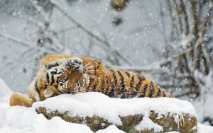 Leopard in Snow Wallpaper Background
