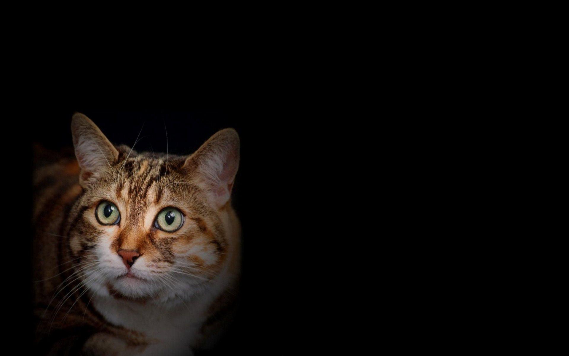 light green eyes cat wallpaper background