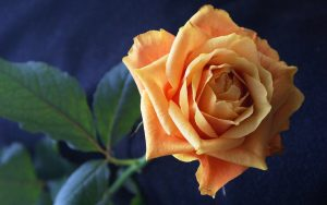 Light Orange Rose Wallpaper