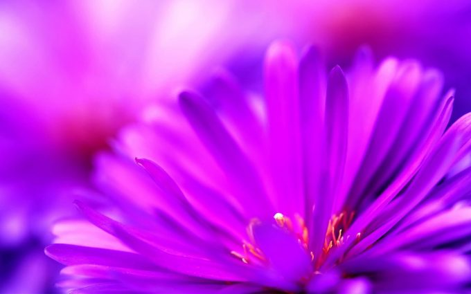 light purple flower wallpaper background, wallpapers