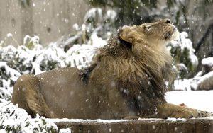 Lion In Snow Wallpaper