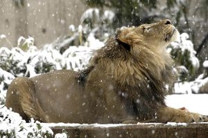 lion in snow wallpaper background