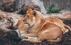 Lion Resting Wallpaper Background