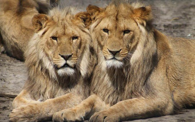lions wallpaper