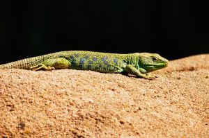 Lizard 4K Wallpaper