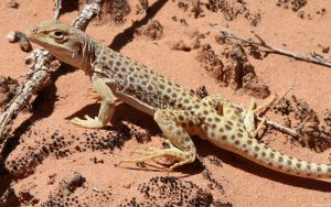 Lizard on Sand Wallpaper Background