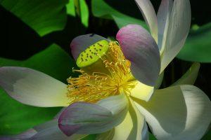 lotus flower pink wallpaper background