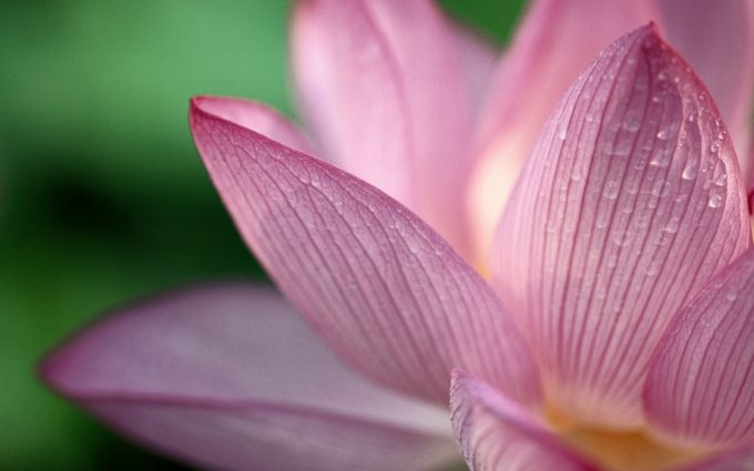 lotus flower wide wallpaper background