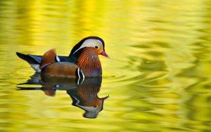 Mandarin Duck 4K Wallpaper