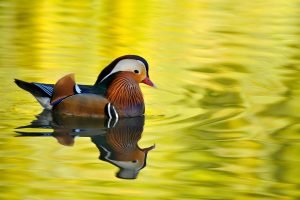 mandarin duck 4k wallpaper background