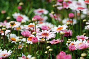 marguerite daisy flowers wallpaper background
