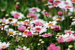 marguerite daisy flowers wallpaper background