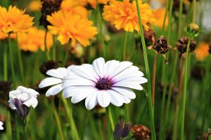 marguerite flower wallpaper background