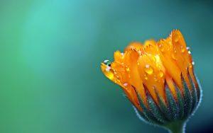 Marigold Flower Wallpaper Background