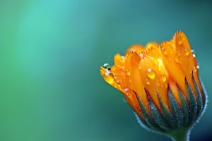 marigold flower wallpaper background