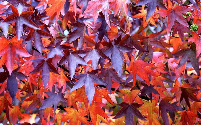 maroon leaves wallpaper background