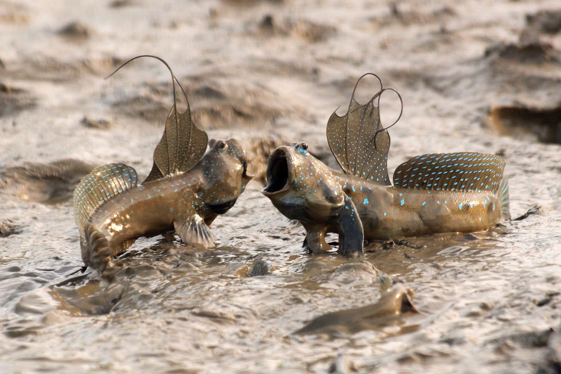 mudskippers fish wallpaper background images wallpapers