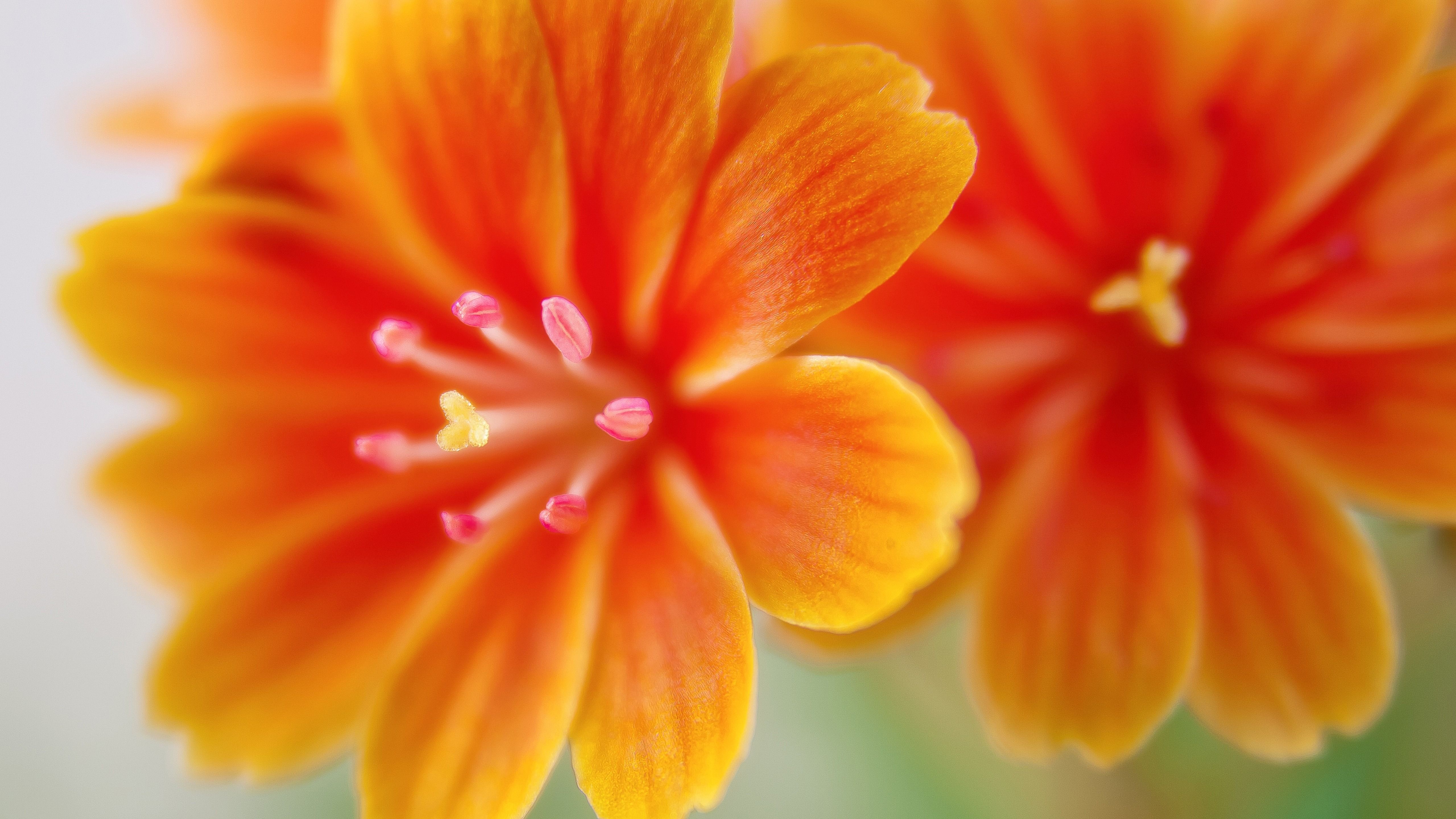 orange flower close up wallpaper 4k 5k background