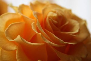 orange rose close up wallpaper background