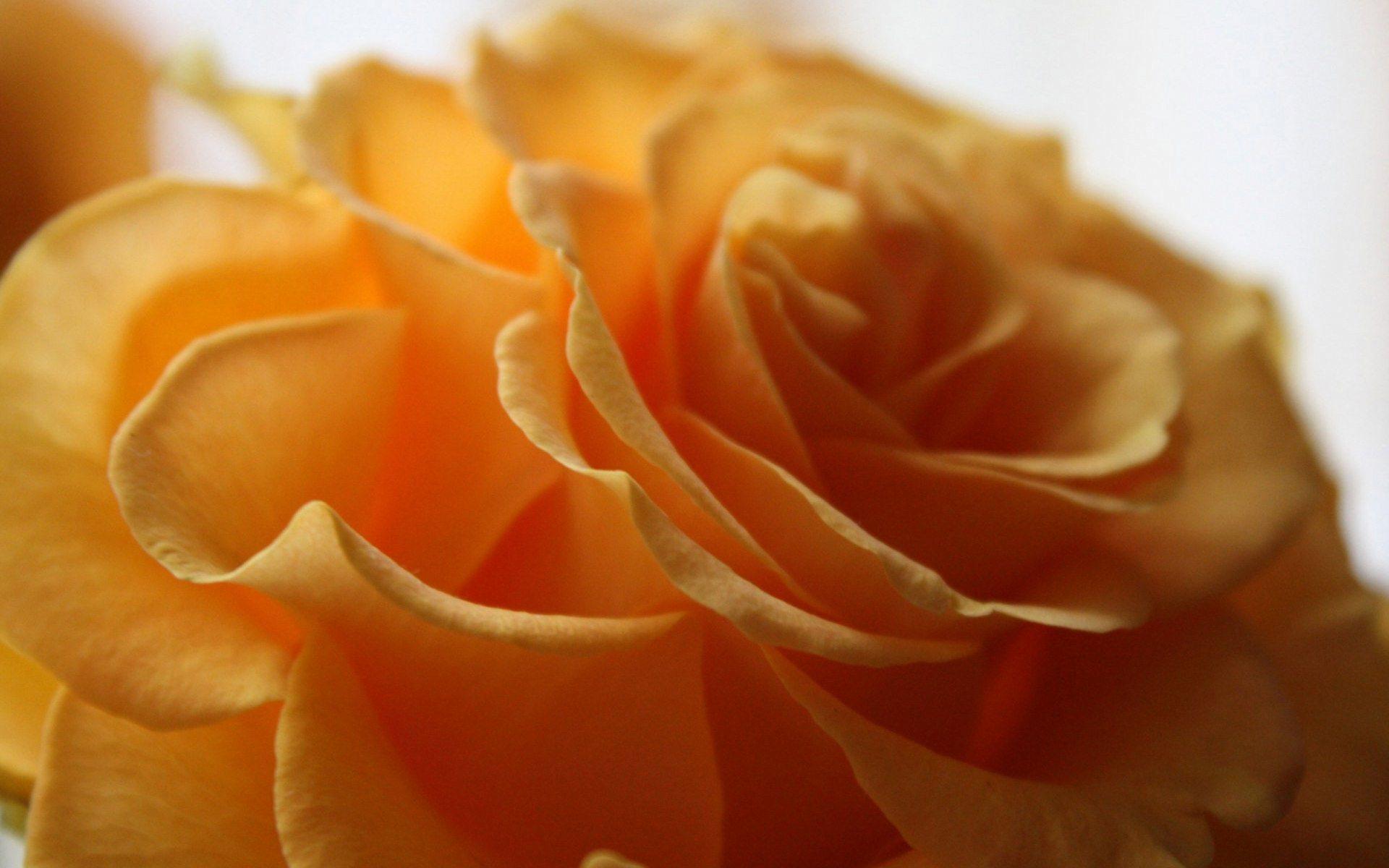 orange rose close up wallpaper background