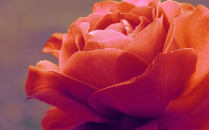 orange rose wallpaper background