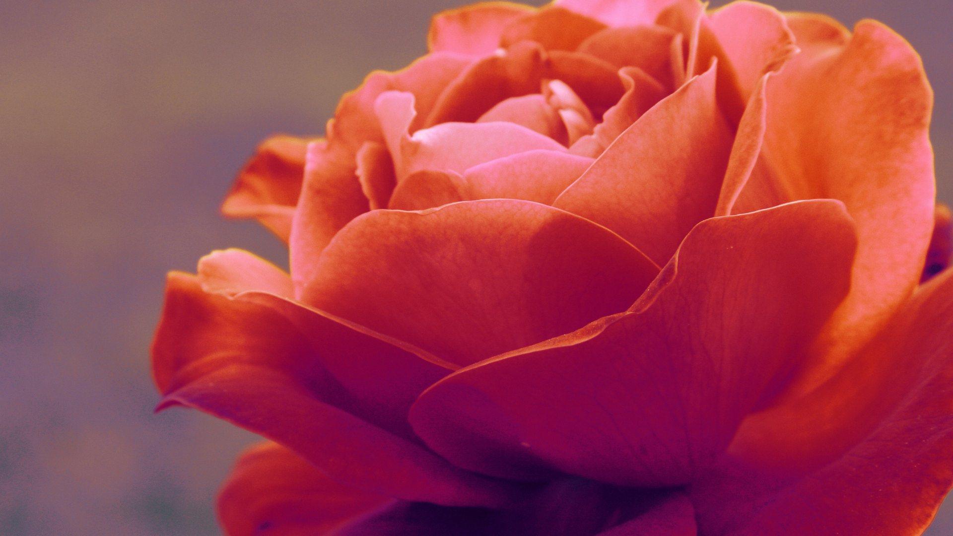 orange rose wallpaper background