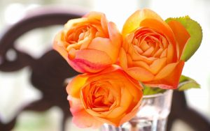 Orange Roses Wallpaper Background