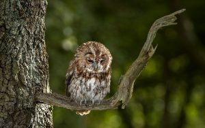 Owl on Tree Wallpaper