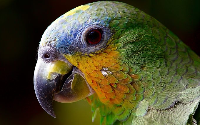parrot close up 4k wallpaper background