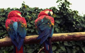 Parrot Pair Wallpaper Background