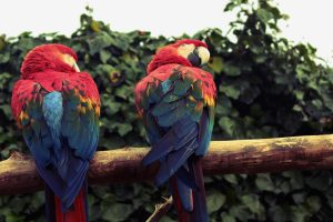 parrot pair wallpaper
