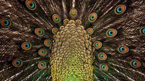 Peacock Feathers 4K 5K Wallpaper