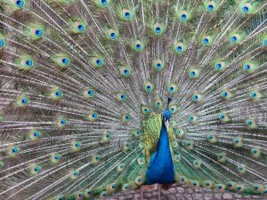 Peacock Wallpaper 4K Background