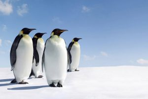 penguins on snow wallpaper background