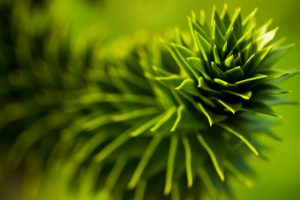 pine leaf close up wallpaper