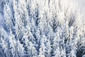 pine trees under snow wallpaper 4k background