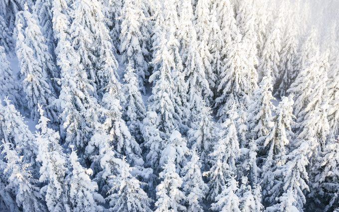 pine trees under snow wallpaper 4k background
