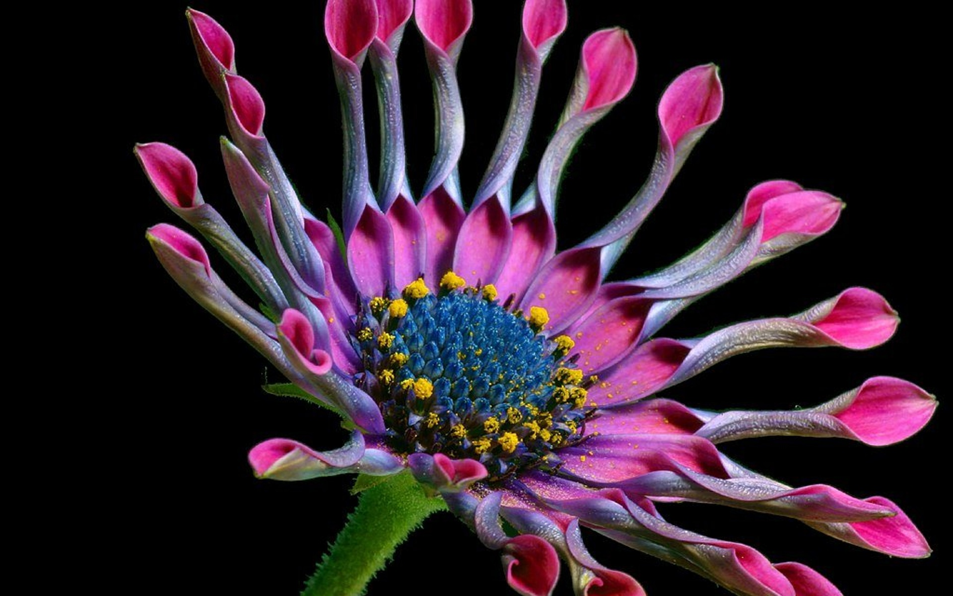 pink flower macro wallpaper
