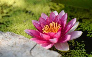Pink Lily Flower Wallpaper