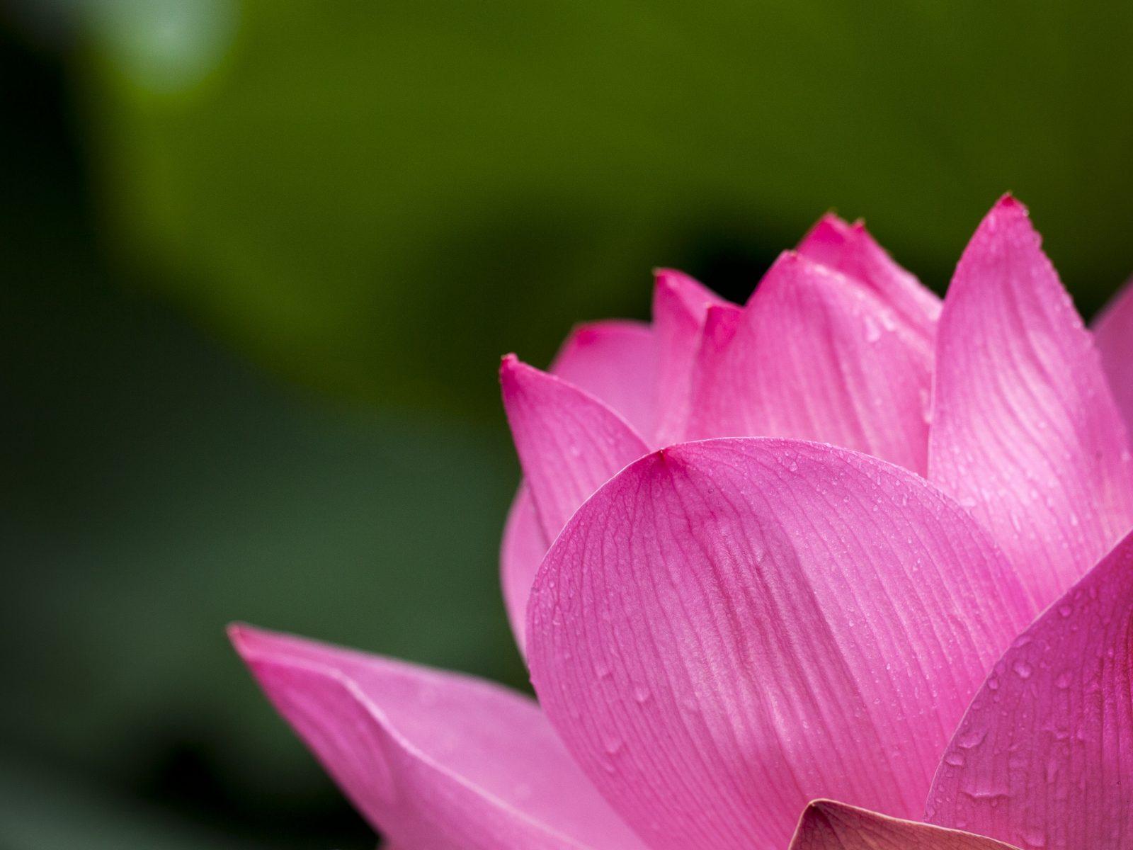 Pink Lotus Flower 4k Wallpaper Hd Wallpaper Background