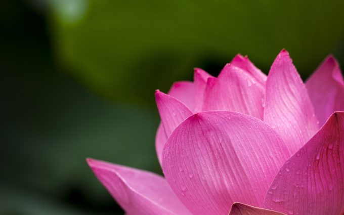 pink lotus flower 4k wallpaper