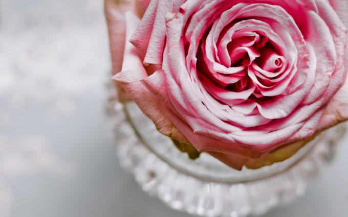 pink rose close up 4k 5k