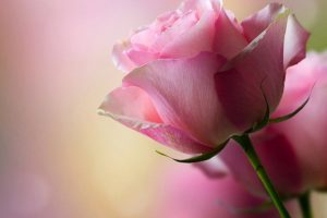 pink rose close up wallpaper background, wallpapers
