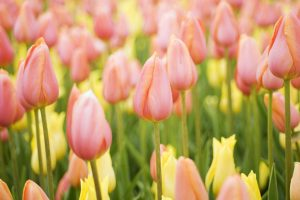 pink tulips wallpaper 4k background