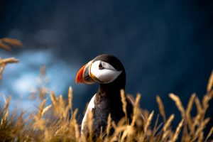 puffin wallpaper background, wallpapers