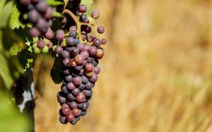 Purple Grapes Wallpaper