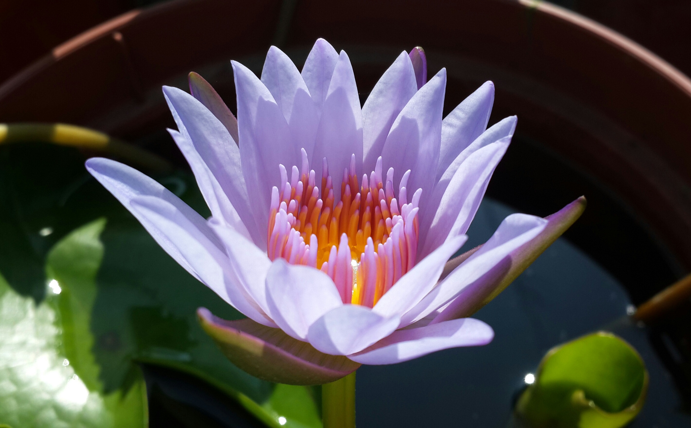 purple lotus wallpaper background