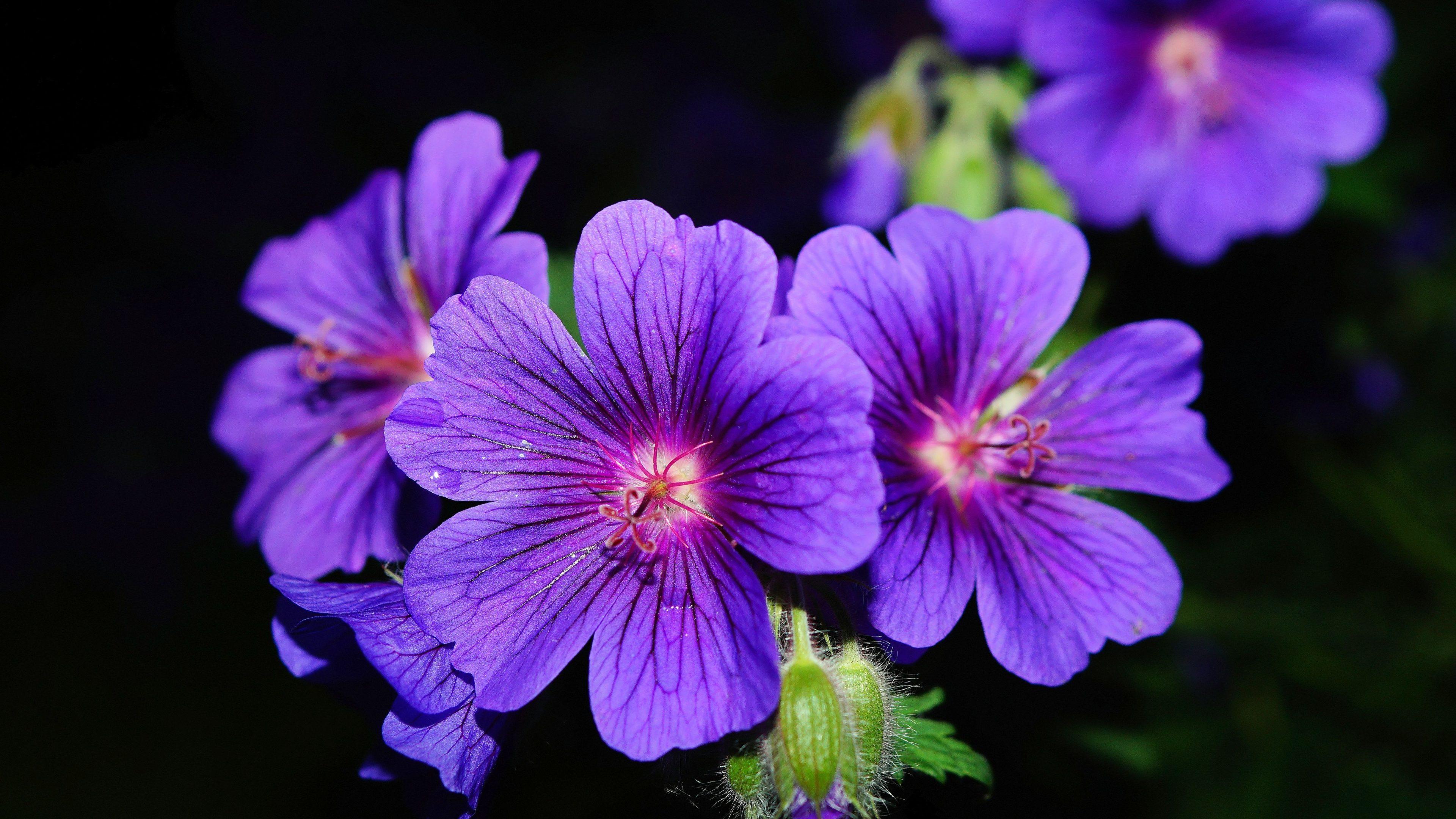 Purple Petaled Flower Wallpaper 4k Hd Wallpaper Background