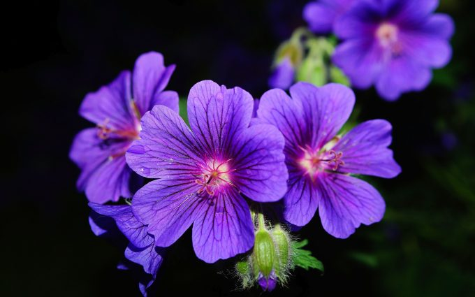 purple petaled flower wallpaper 4k background